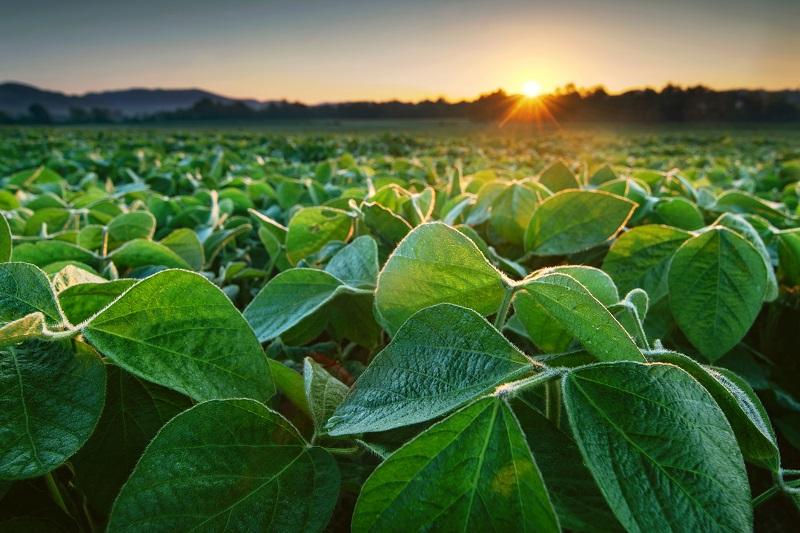 Soja ist unter anderem ein hervorragender pflanzlicher Proteinlieferant. Bild: UrosPoteko / iStock / Getty Images Plus